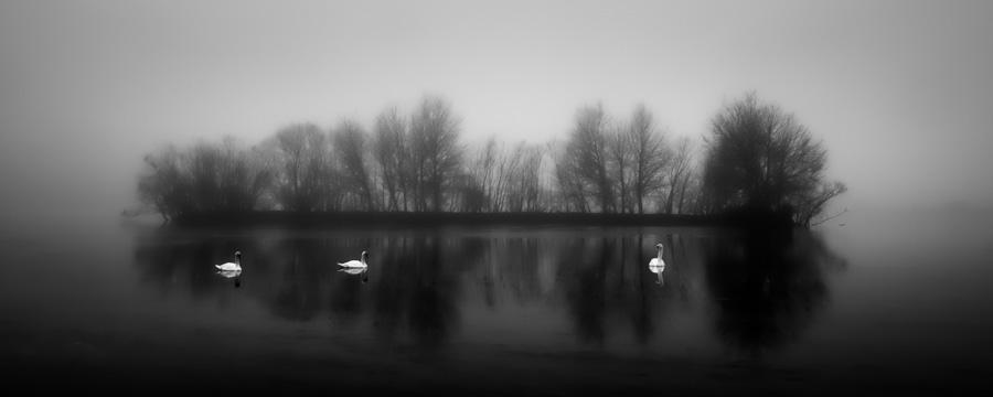 Swans-In-Mist-2.jpg